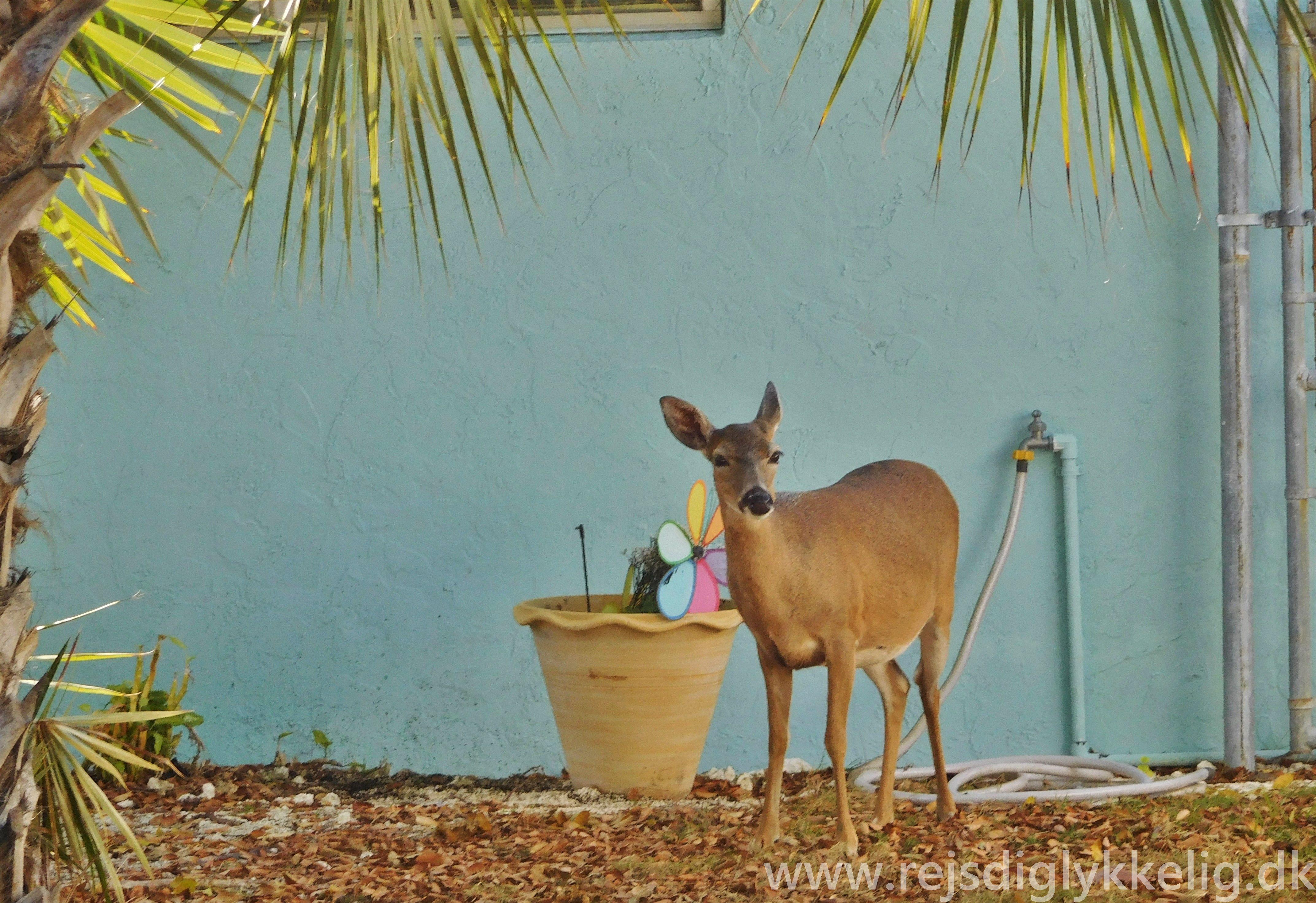Tamme dådyr på Big Pine Key