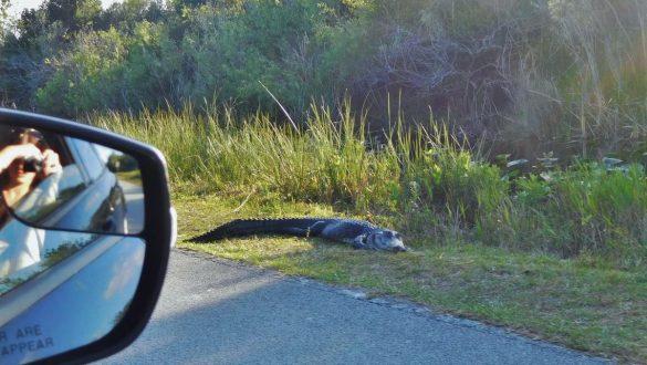 Fotodagbog fra Florida - Alligator i Shark Valley - Rejsdiglykkelig.dk