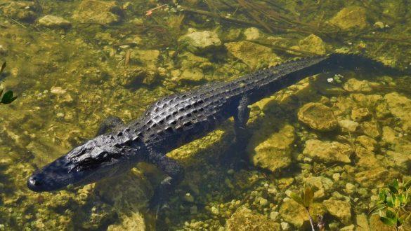 Fotodagbog fra Florida - Alligator på Big Pine Key - Rejsdiglykkelig.dk