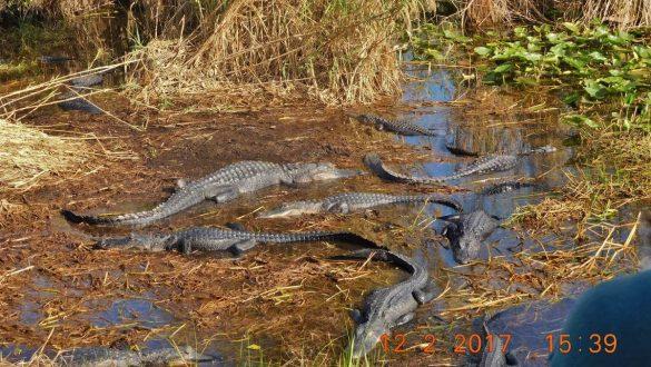 Fotodagbog fra Florida - Alligatorer i Everglades National Park - Rejsdiglykkelig.dk