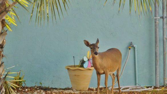 Fotodagbog fra Florida - Dådyr på Big Pine Key - Rejsdiglykkelig.dk