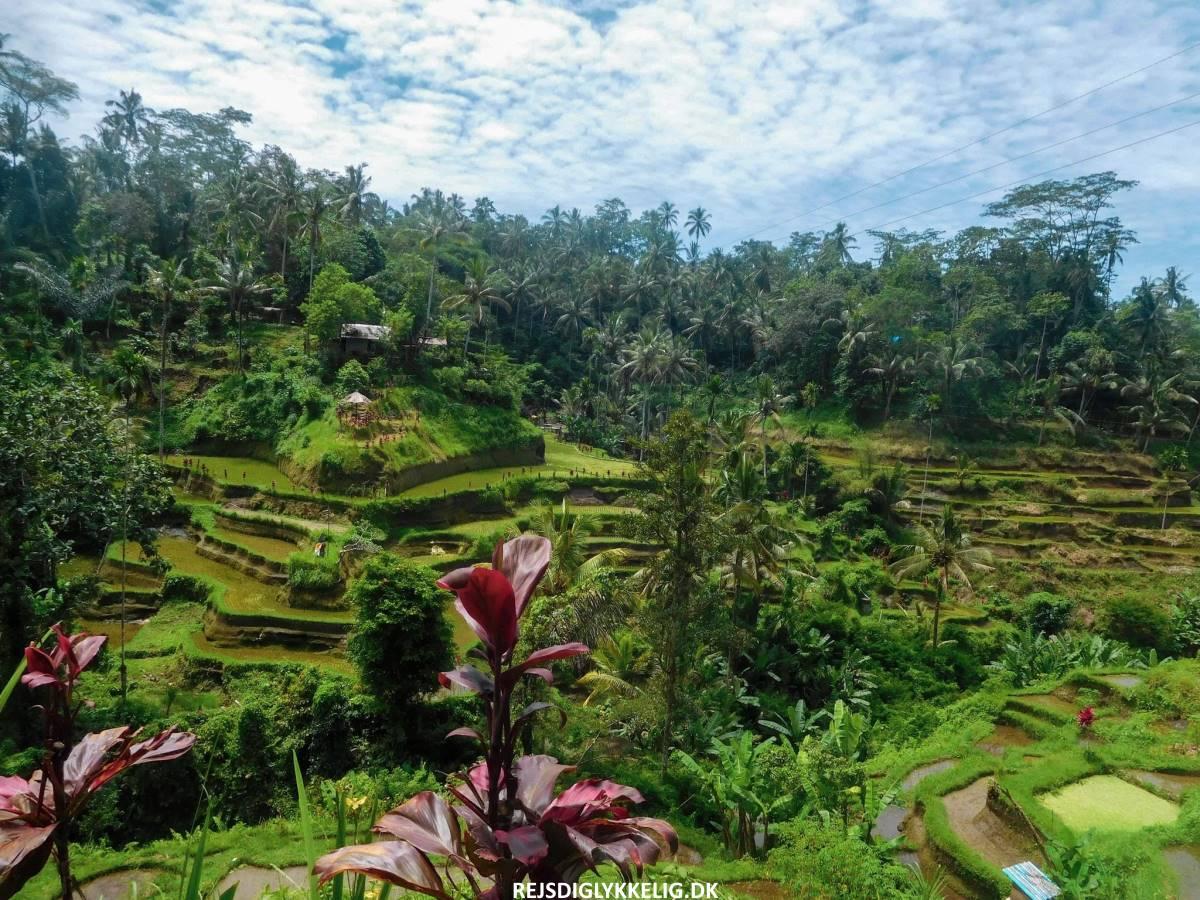 Tegallalang Rice Terraces - Rejs Dig Lykkelig