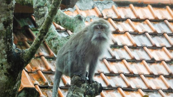 Fotodagbog fra Ubud - Fri abe på hotellets grund - Rejsdiglykkelig.dk