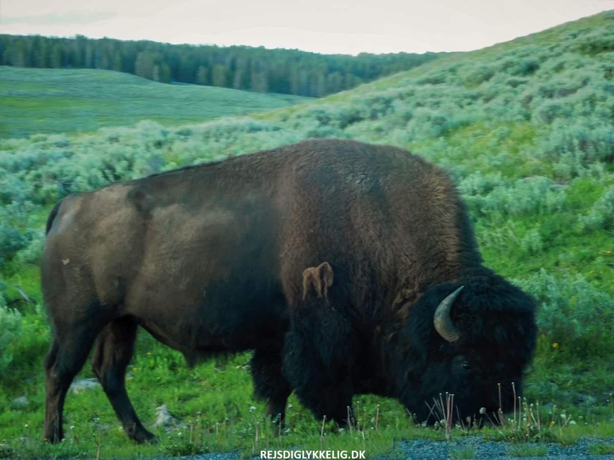 Guide til Yellowstone National Park - Dyreliv - Rejs Dig Lykkelig