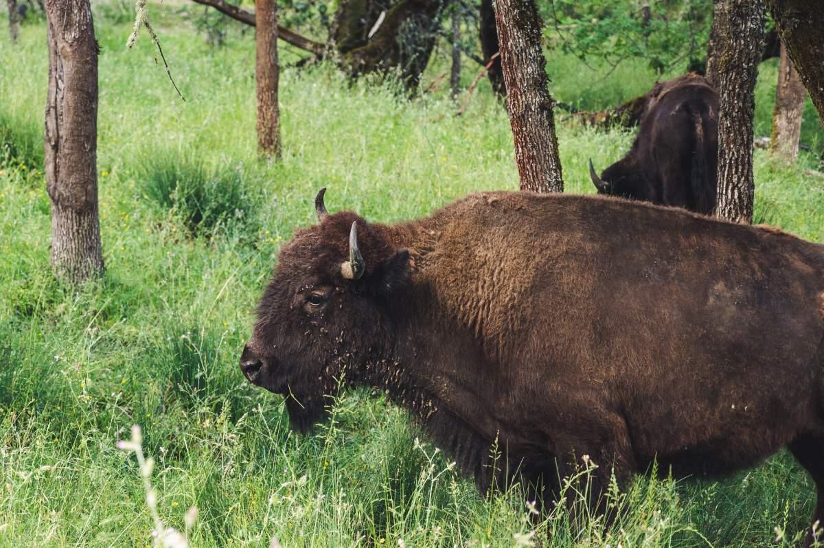 16 Must-See Seværdigheder og Oplevelser på Fyn - Ditlevsdal Bison Farm - Rejs Dig Lykkelig